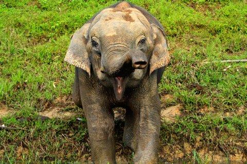 Wild Elephant Khao Sok Lake