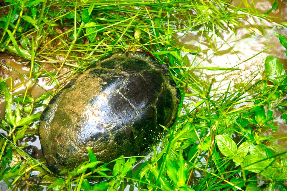 Asian Brown Tortoise Spotted in Klong Saeng