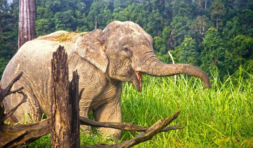 An Elephant in Khao Sok at Klong Saeng Wildlife Sanctuary.