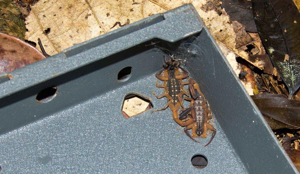 Baby scorpions in camera trap at Khao Sok
